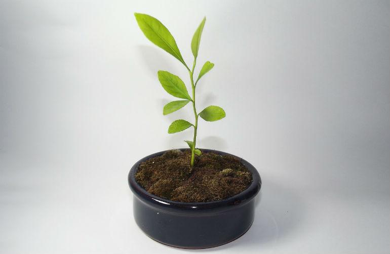 Как вырастить лимон в домашних условиях из косточки в горшке